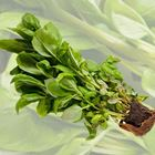 Picture of HERB BASIL