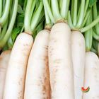 Picture of RADISH WHITE BUNCH 2 FOR $6.60