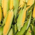 Picture of SWEET CORN 3 FOR $3.30