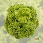 Picture of LETTUCE GREEN CORAL