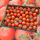 Picture of TOMATO TRUSS TRAY 5KG