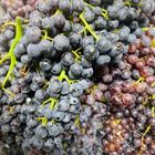 Picture of BLACKCURRANT 1KG