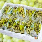 Picture of GRAPE WHITE SEEDLESS 9-10KG BOX