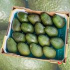 Picture of AVOCADO HASS FIRM LARGE TRAY